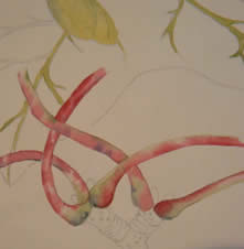 Botanical Painting in the Style of Charles Rennie Mackintosh- with Colin Swinton